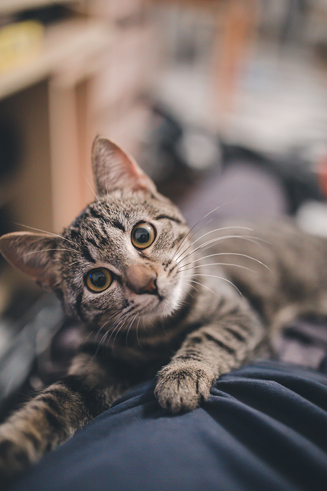 Grey cat laying down with head tilted to the side looking at camera