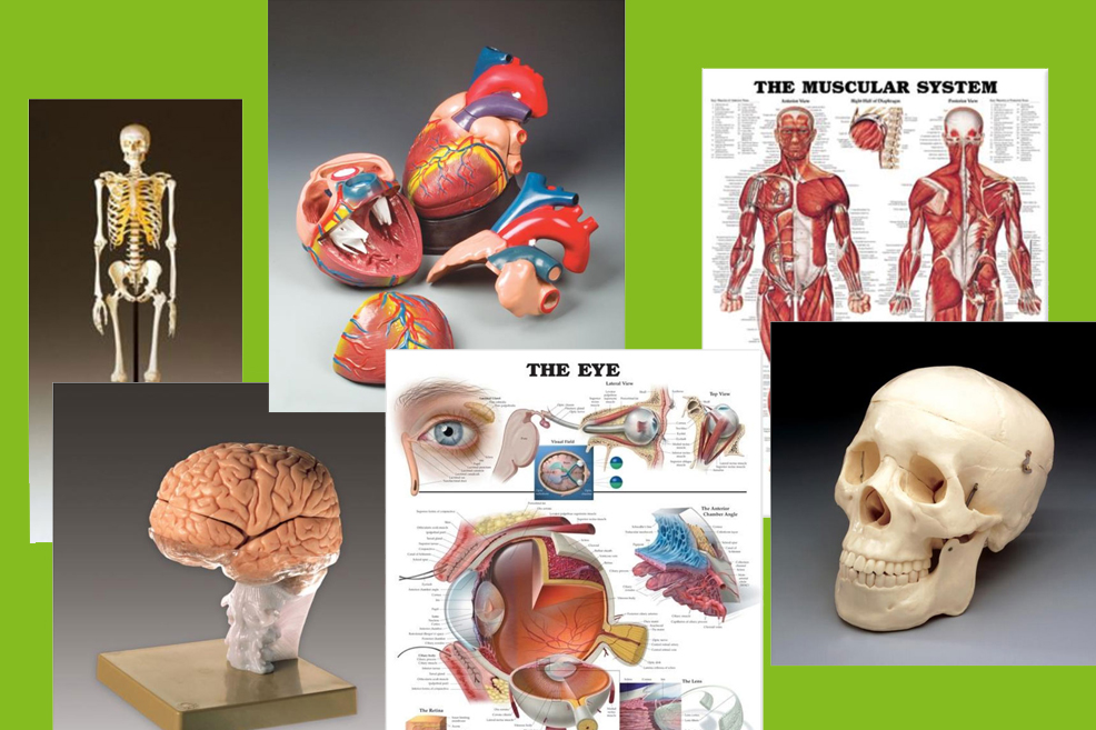 Collage sample of anatomy charts and models