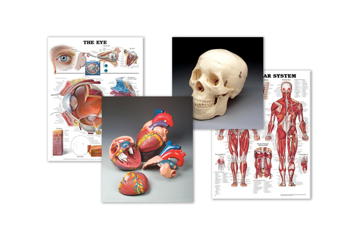A collection of charts and images of of models from the Anatomy Chart Company